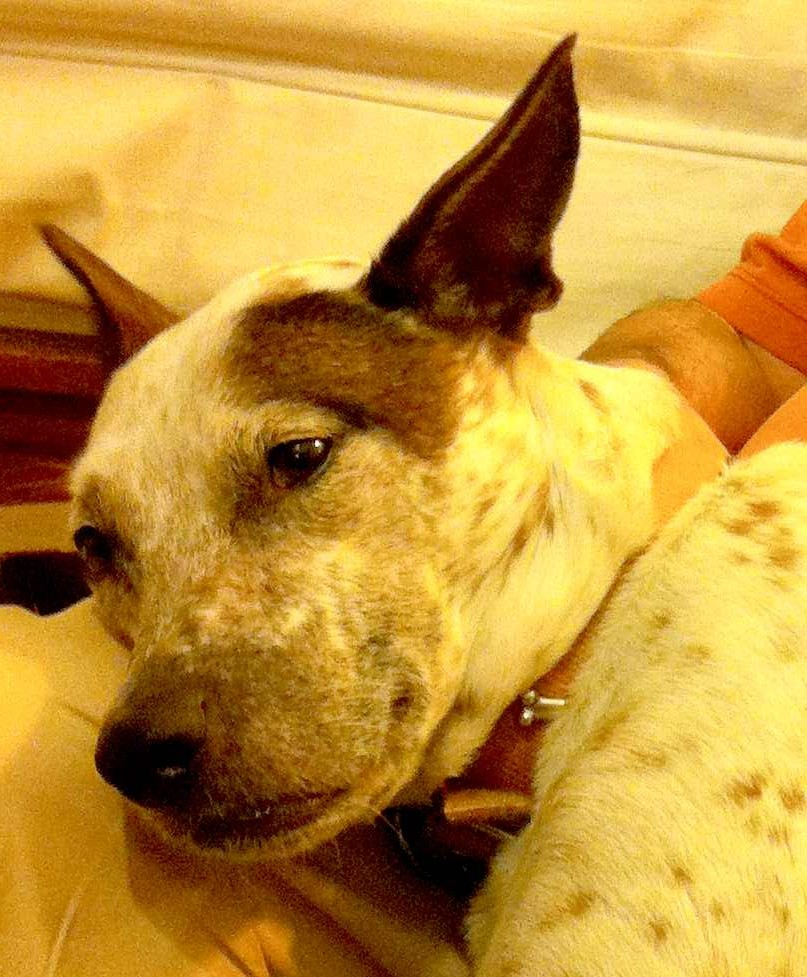 Rolo, our cattle dog mix, relaxing